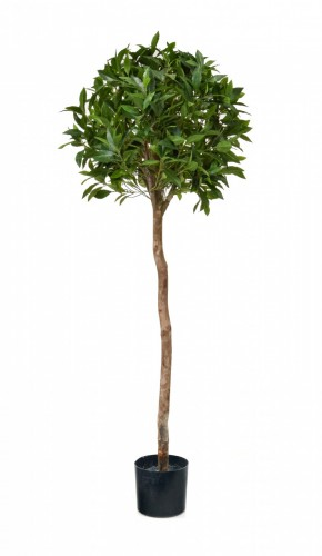 Bay Laurel Ball Tree